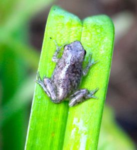 A newly emerged froglet ponders its future on a daylily leaf.