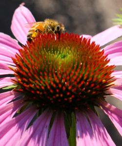 A coneflower gets a thorough visit from a honeybee.