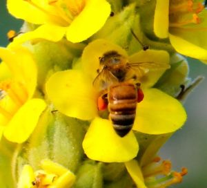 Check out the laden pollen baskets on this honeybee working mullein flowers.