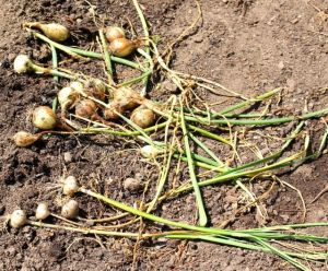 Vole tunnels undercut the onions so thoroughly that they never got enough water or nutrients to grow to a decent size.