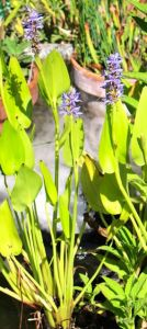 Blooming pickerel weeds in the water feature with vapor from the mister swirling behind them.