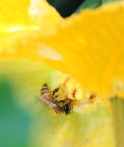 A honeybee covered in the pollen of the squash blossom it is visiting.