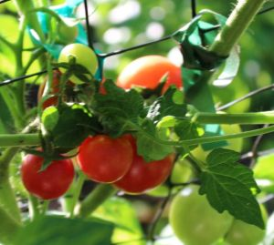 Sweet Treats cherry tomatoes