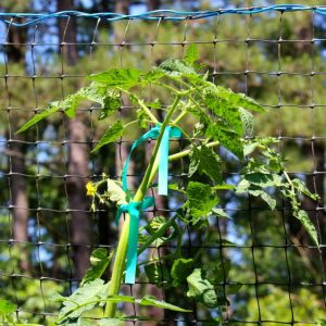 Sweet Treats cherry tomato nears the top of its trellis.