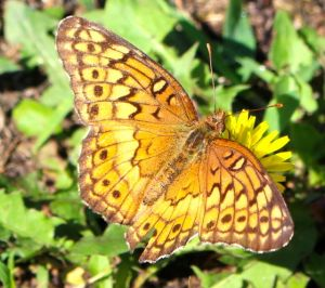 This Variegated Fritillary eschewed my  pampered blossoms in favor of driveway dandelions.