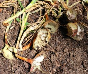 In the 2015 growing season, voles ate about two-thirds of our Yellow Granex onion crop.