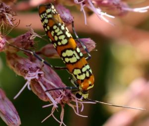 Ailanthus Web Worm moth on Joe Pye Weed flowers