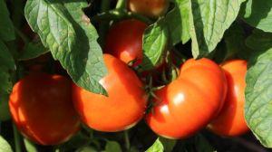 Amelia tomatoes