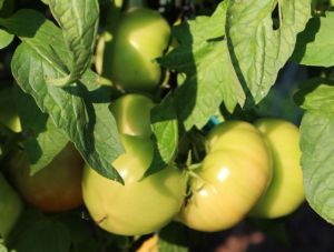 Amelia tomatoes are just beginning to redden.