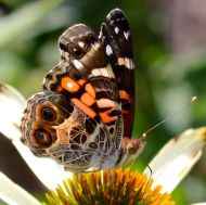 American Lady butterfly on coneflower
