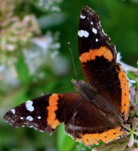 A battered Red Admiral enjoying abelia flowers.