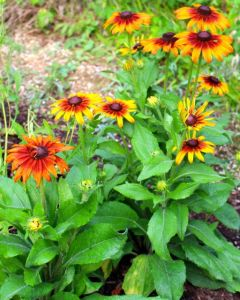 Seed-grown Rudbeckia 'Cappuccino' has turned into a stunning plant seemingly oblivious to the heat and humidity. Score!