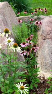 Echinaceas in the boulder garden are covered in pollinators from dawn to dark. That's a rosemary plant in the middle. It loves the heat from the sun-warmed rocks.