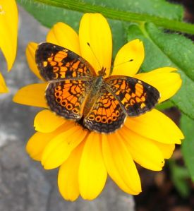 A Pearl Crescent enjoying a Rudbeckia flower.