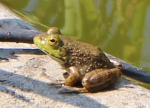 Green frog on rim of water feature