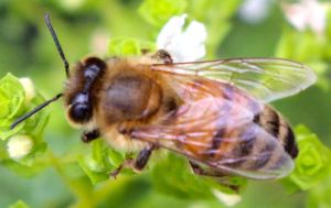 The honeybees like the oregano flowers too.