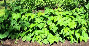 Jade bush beans