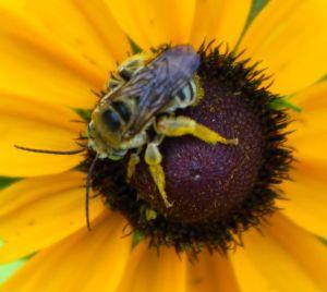 mystery bee on Black-eyed Susan