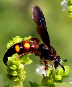 Perhaps another scoliid wasp -- this one with reddish-yellow stripes.