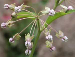 poke milkweed flowers2
