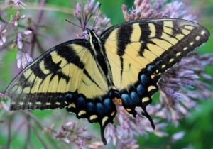 Caterpillars of Eastern Tiger Swallowtails rely on ash trees for food.
