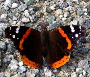 Welcome back, Red Admiral!