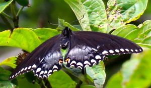 A Spicebush Swallowtail maybe?