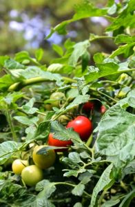 Sweet Treats cherry tomatoes