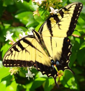 This Eastern Tiger Swallowtail was enjoying the Chinese Abelia flowers that finally opened after we got some rain.