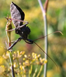 Wheelbug on a fennel stem