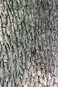 Appreciate the furrowed bark of ash trees while you can.