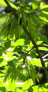 Like charms on a bracelet, female ash trees (the species is dioecious) dangle seed clusters from slender branches.