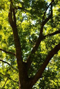 Typical branching structure of a canopy Green Ash