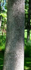 Trunk of a canopy Green Ash
