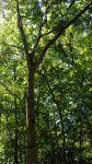 canopy ash