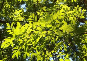 Ashes have compound, opposite leaves, which help create shady moist woodlands beneath their canopies.