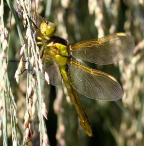 Golden wings of this dragonfly shimmered in the sunlight too.