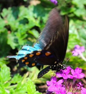The blue hind wings shimmer like water dancing in sunlight.