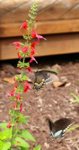 A motion-blurred male Spicebush Swallowtail attempts a dalliance with a female enjoying an annual salvia.