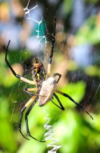 Writing spider breakfasting on her latest victim