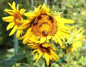 Sunflower multiplicity