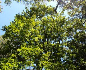 Top of a canopy Green Ash on my floodplain