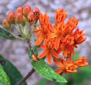 Round one of blooms from Butterfly Weed
