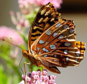 Great Spangled Fritillary enjoying flowers of Swamp Milkweed