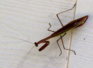 House mantis