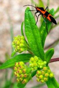 The milkweed bugs, oleander aphids, and myriad ants on my milkweeds never seemed to adversely affect their vigor.
