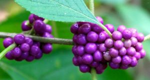 Native beautyberry