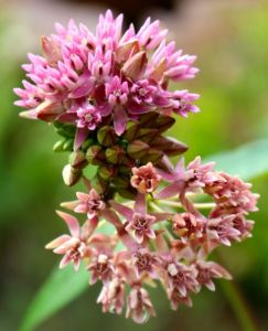 Flowers of Purple Savanna Milkweed