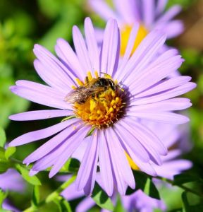 Pollinators love this aster too.