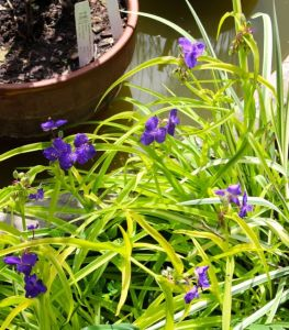 Tradescantia 'Sweet Kate' cranking out late-season blooms